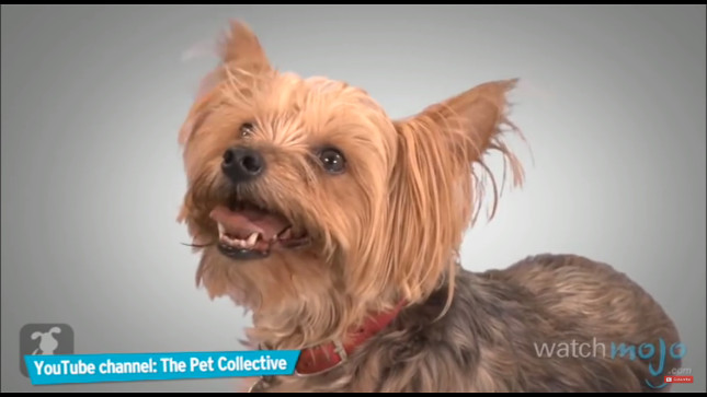 top-10-dog-breeds-yorkshire-terrier