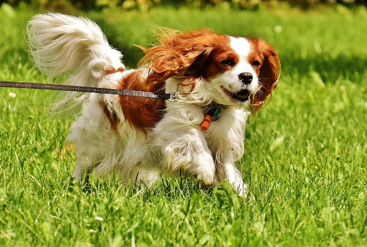 Best Dogs For Apartments Cavalier King Charles Spaniel