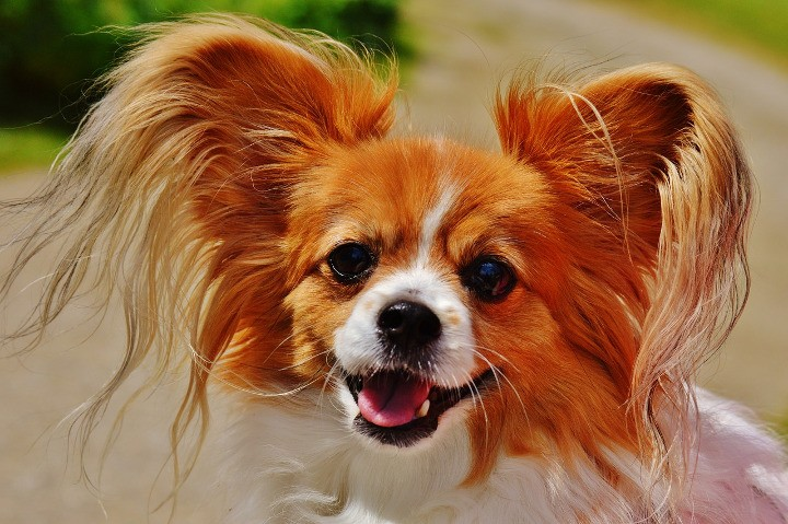 Best Dogs For Apartments Chihuahua