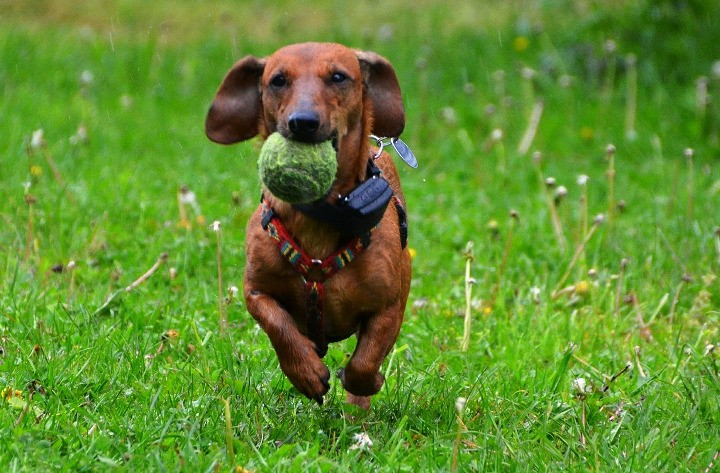 Best Dogs For Apartments Dachshund