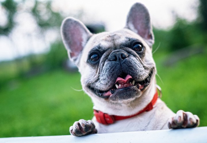 Best Dogs For Apartments French Bulldog