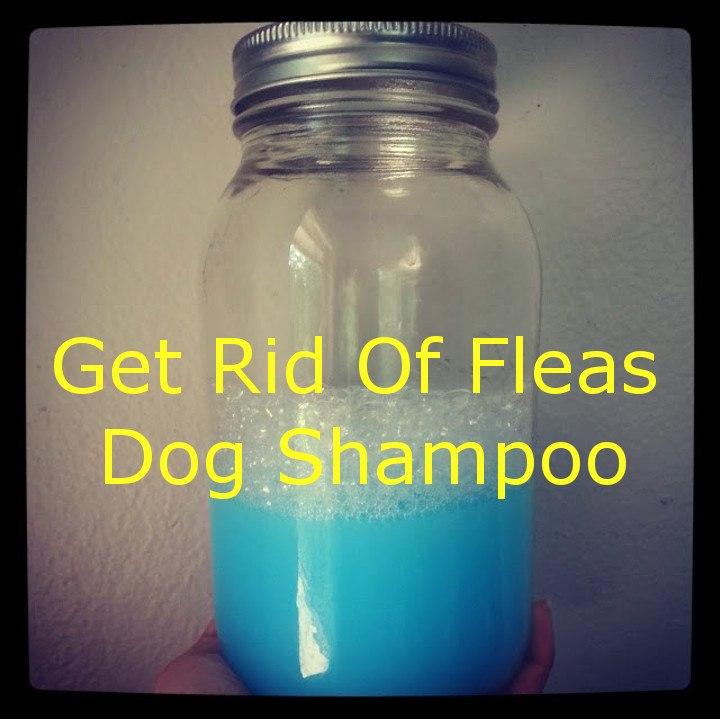 Homemade Get Rid Of Flea Dog Shampoo