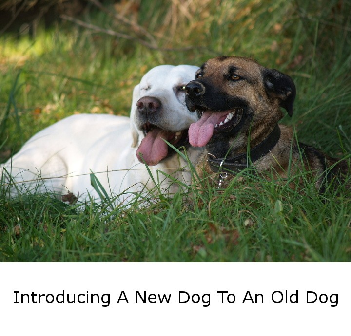 Introducing A New dog to An Old Dog