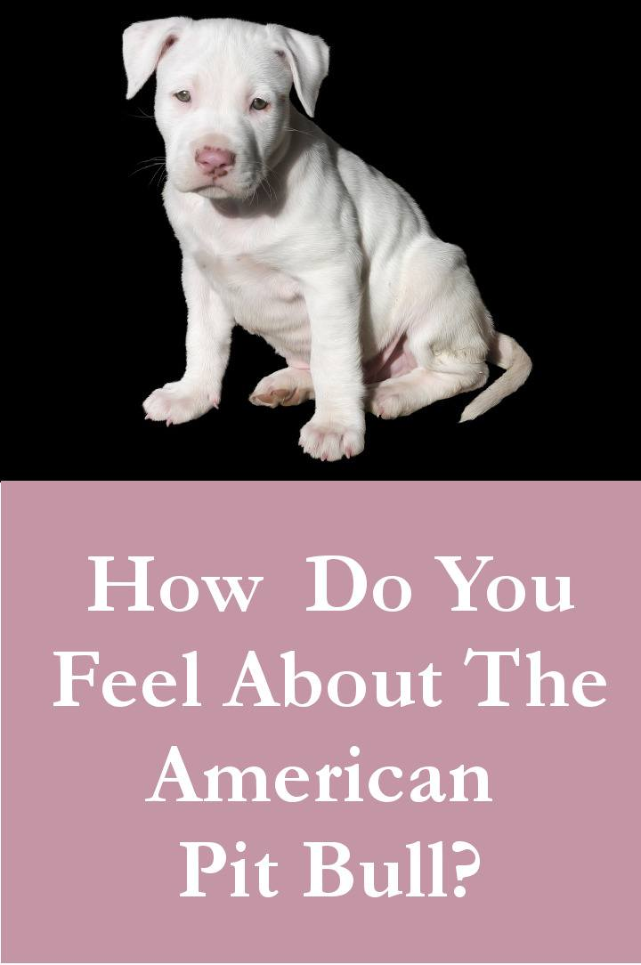 How Do You Feel About The American Pit Bull Terrier