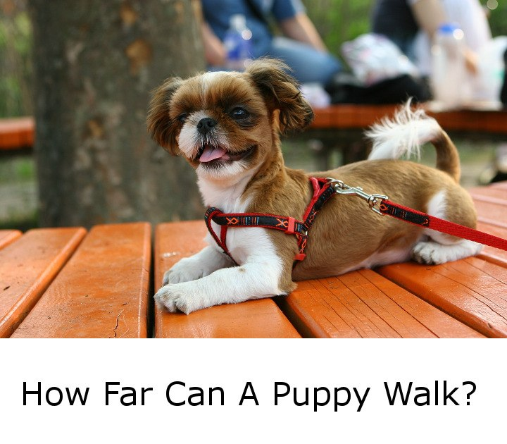 How Far Can A Puppy Walk