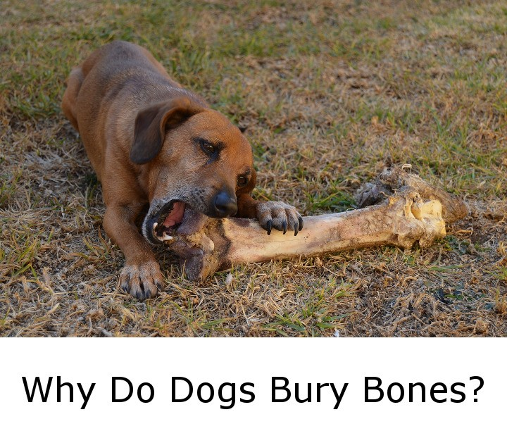 Why Do Dogs Bury Bones