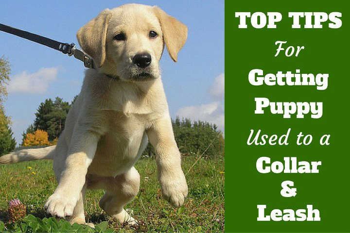 Top Tips For Getting Your Puppy Used To A Collar And Leash