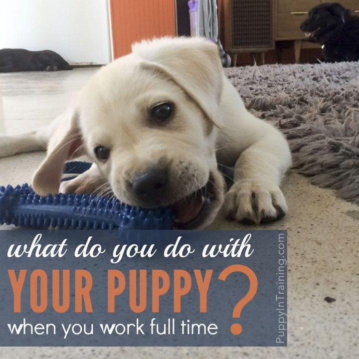 What To Do With Your Puppy When You Work Full Time