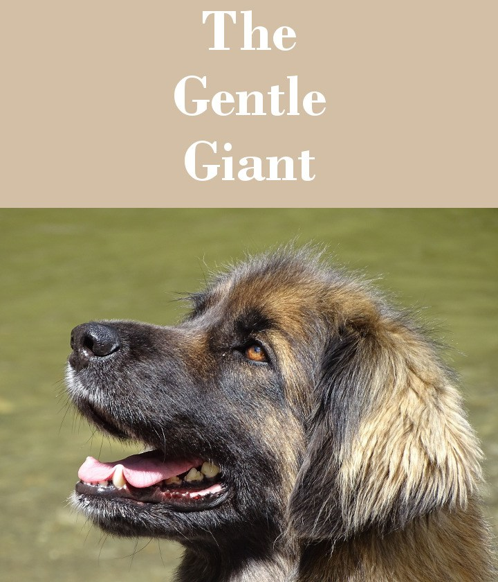 The Leonberger Dog