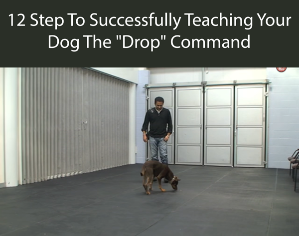 12 Step To Successfully Teaching Your Dog The Drop Command