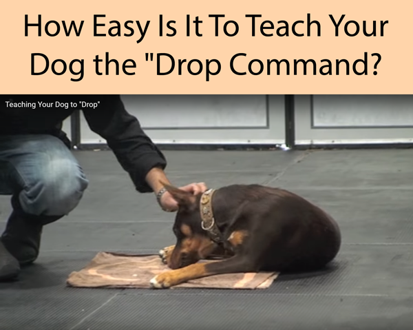 How Easy Is It To Teach Your Dog the Drop Command