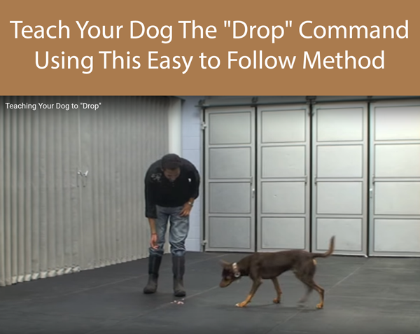 Teach Your Dog The Drop Command Using This Easy to Follow Method