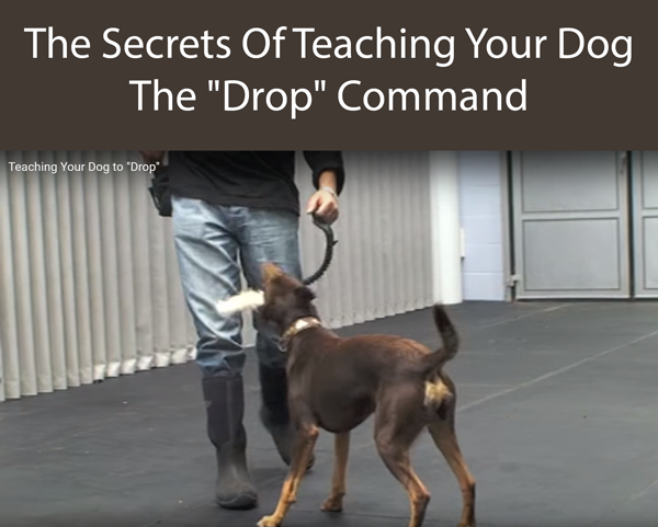 The Secrets Of Teaching Your Dog The Drop Command