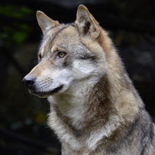 How Closely Are Dogs And Wolves Related