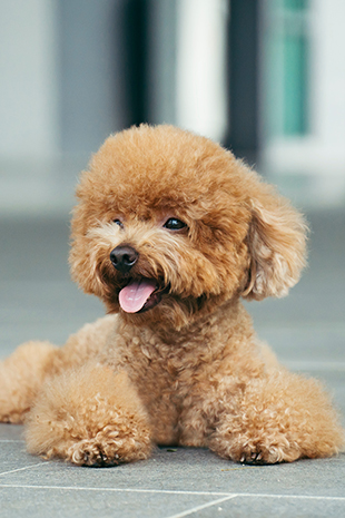 Are Any Dogs Really Hypoallergenic