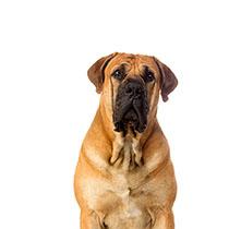 Owning A Big Dog