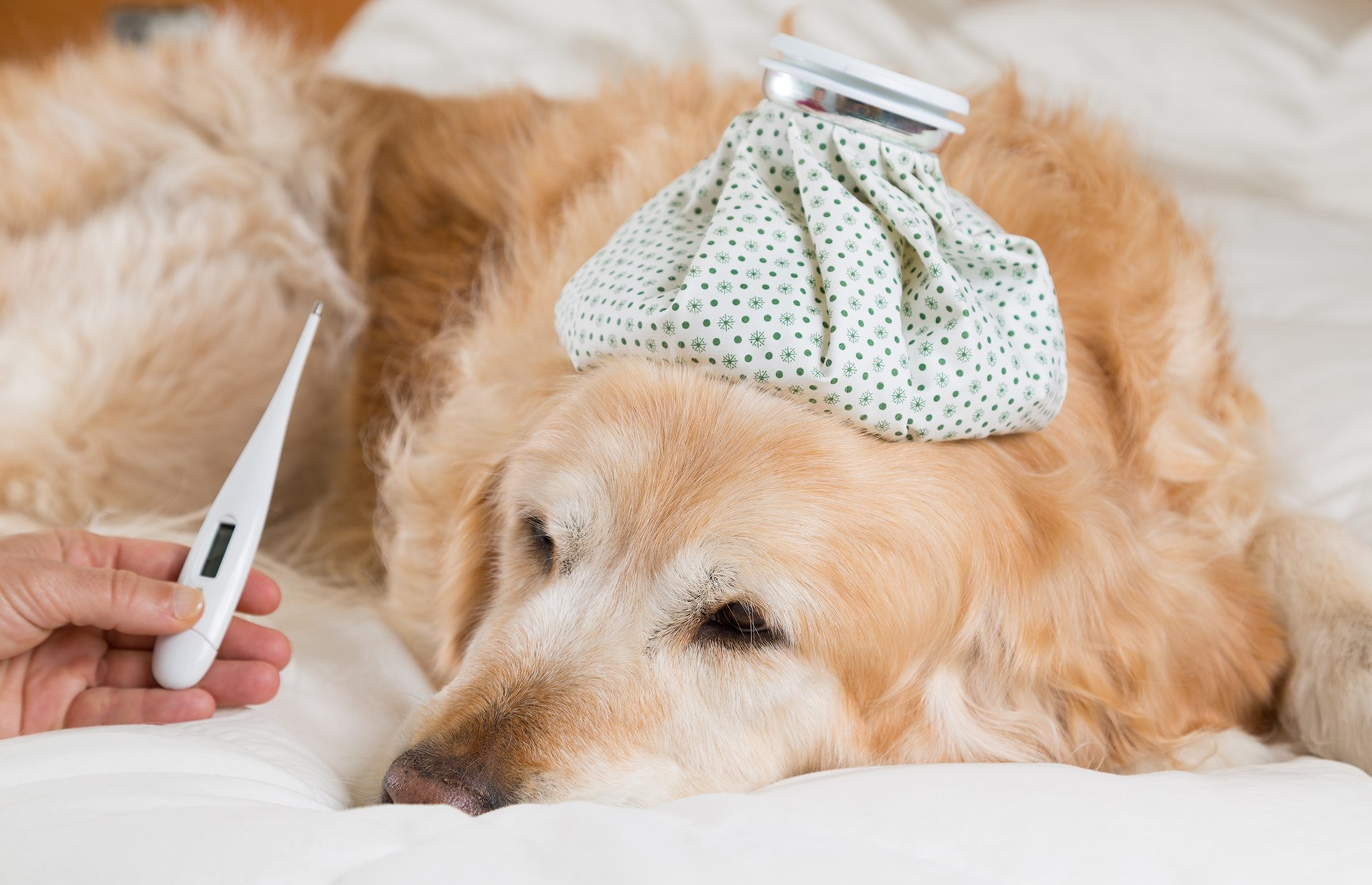 What Is The Normal Body Temperature Of A Dog?