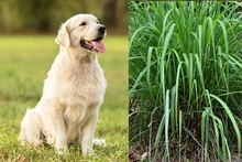 Is Citronella Safe For Dogs?