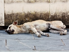 What Is A Feral Dog?